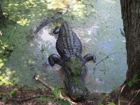 Katy Gator Spotting: Leave It Alone and Back Away