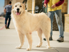 Large Breed Dogs in Need of Homes