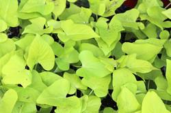 Accent Foliage (half-flats)