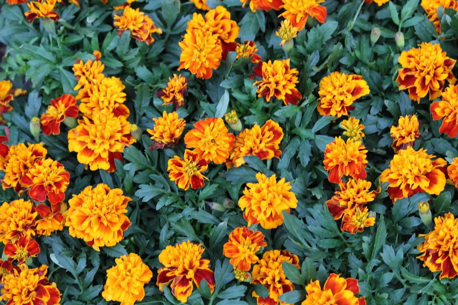 Begonia & Marigold Flats