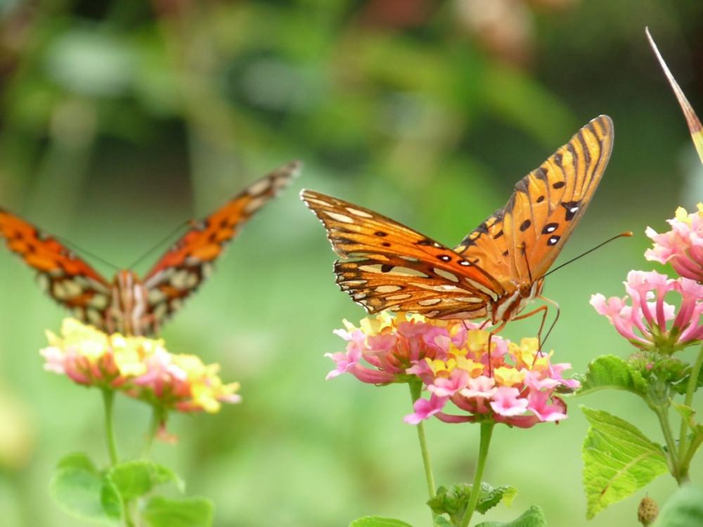Butterflies foraging amongst Lantana
