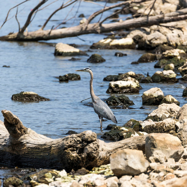Great Blue Heron .jpg