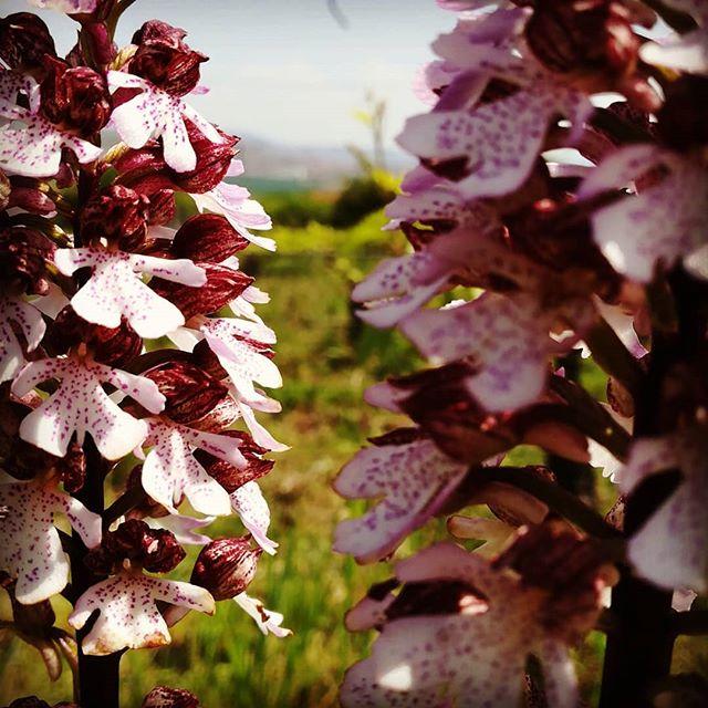 Plaisir des yeux dans mes #vignes #orchidées #domainegougis #plaisirsimple #fleurssauvages
