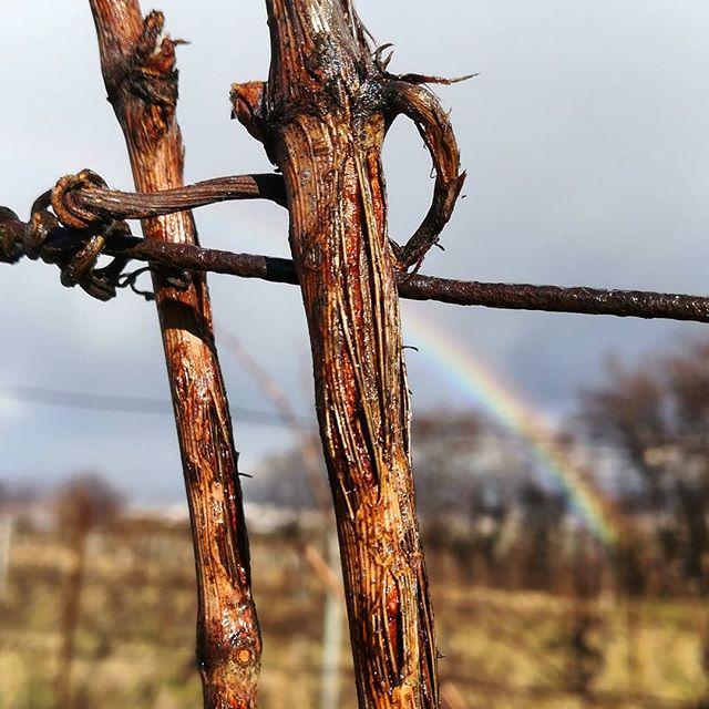 Les cicatrices de la #vigne laissent place à #lesperance du prochain millésime