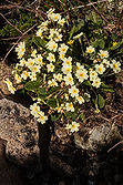 Wild flower at the Isle of Skye Golf Club