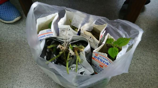 昨年8月に、宜野湾市で麻栽培をスタート!