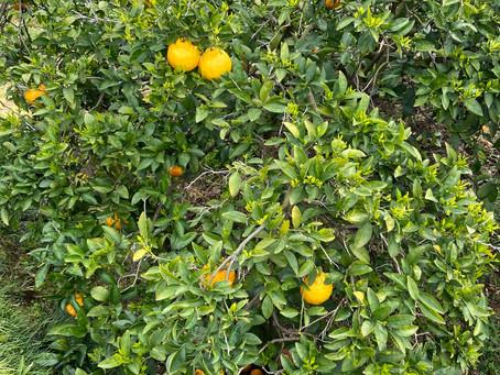 三宝柑の収穫など