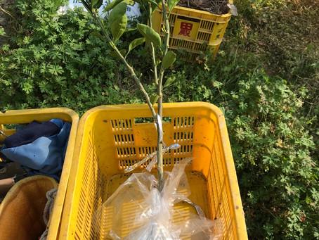 みかんの苗木植え