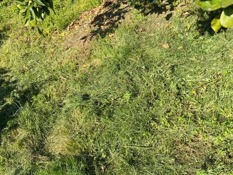 みかん畑 草刈りオカンとボク土入れと、時々、オトン