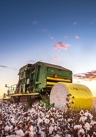 colheita algodão.png