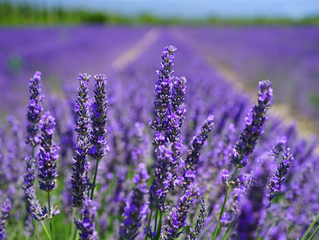 What Are The Benefits of Lavender Oil for Anxiety?