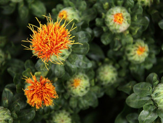 The Benefits Of Safflower Oil