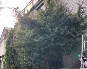 立木(モミジ)の剪定作業