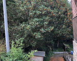 金木犀(キンモクセイ)の伐採作業