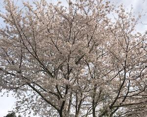 桜と倒木処理!!石岡市で倒木処理といえば!!