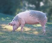 Свинка F1.jpg