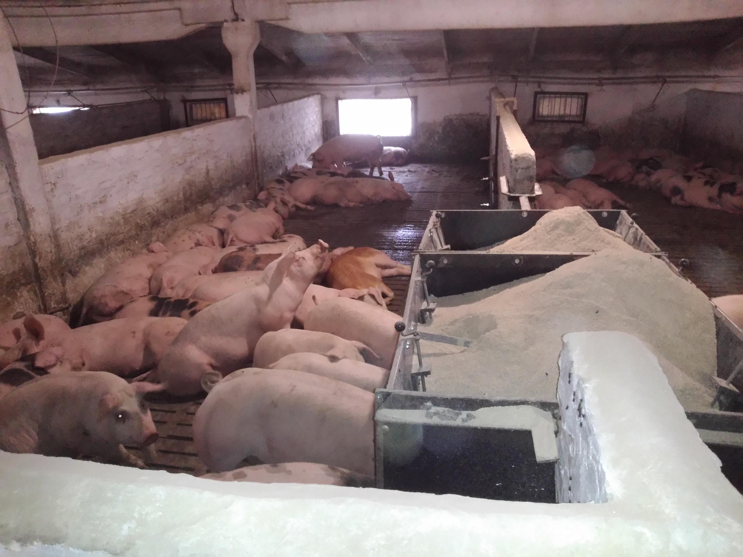Маточник, супорос, доращивание. Свинокомплекс Пиг фарм.