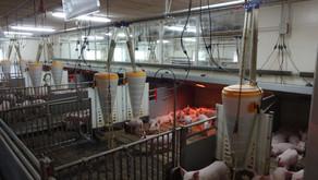 Свиноводство в Дании (Ронсхауг)