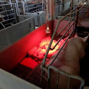 Содержание свиней на ферме