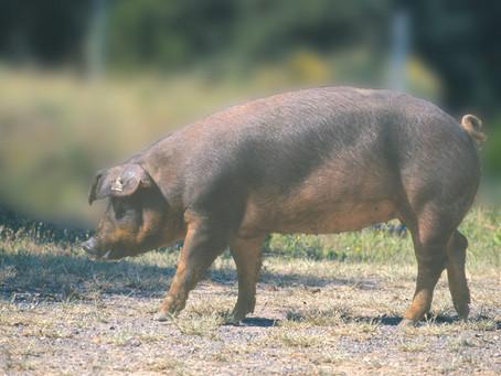 ДЮРОК свинки (Испанская селекция)