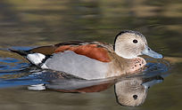 Ringed Teal for Sale