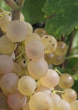 Uni Blanc cognac grapes