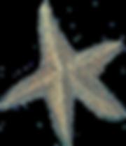 starfish png.png