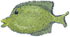 yellow fish png.png