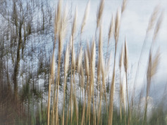 Sylvie - herbes de la pampa