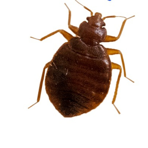10 Live Bed Bugs