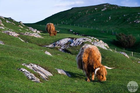 The Rockstar Cows