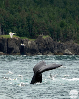 Humback Whale Tail