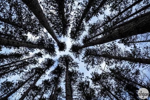 Great White Pines, study II