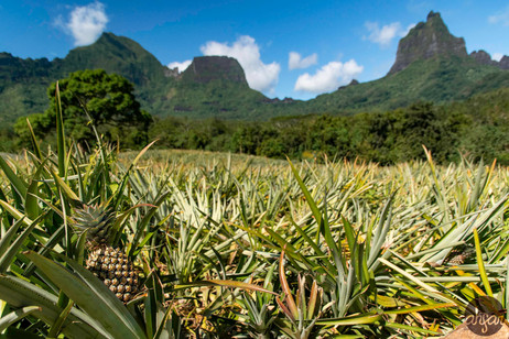 Pineapple fields of Mo'orea, French Polynesia.  Price List #1