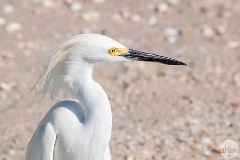 Floyd the Egret