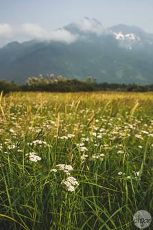 Field of Yarrow Flowers