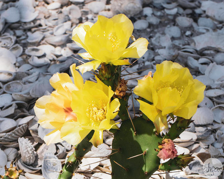 Semaphore Pricklypear