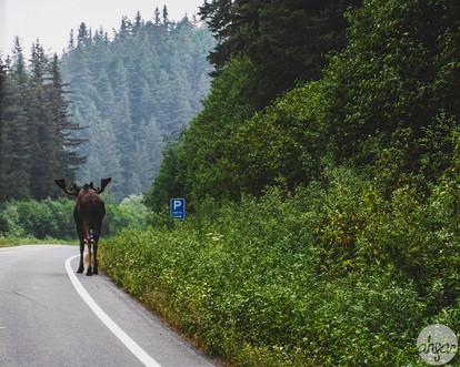 An Alaskan Traffic Jam