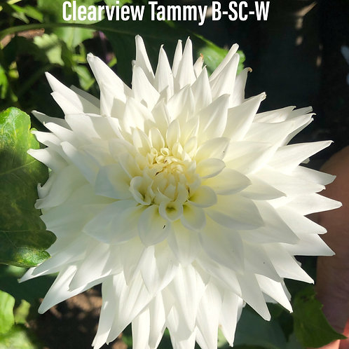 Clearview Tammy