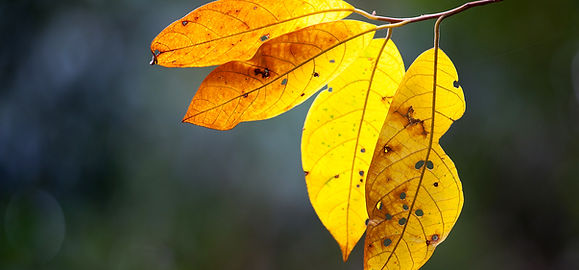 Yellow Leaves in Rainforest.jpg