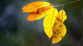Yellow leaves in the Rainforest.jpg