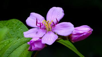 Native Lasiandra