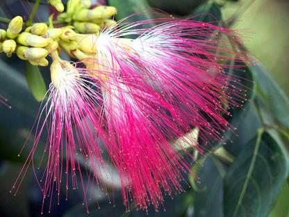 Pink Laceflower (Archidendron grandiflorum)