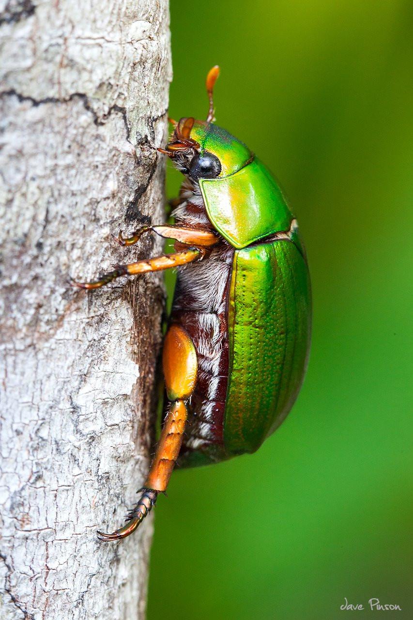 Christmas Beetle.Christmas Beetle