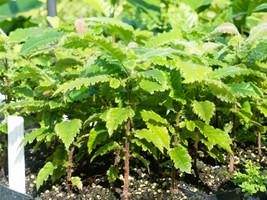 Davidson's Plum seedlings