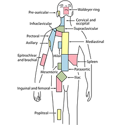 Waldeyers ring body lymph.png