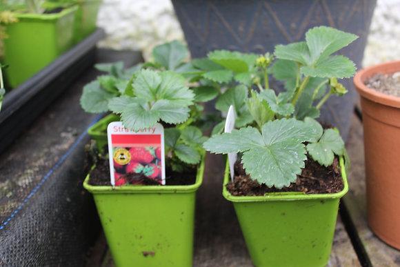 Strawberry | 1 Plant