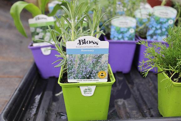 Rosemary | 1 Plant