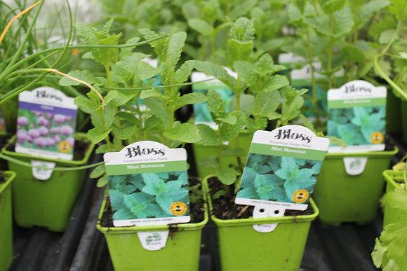 Mint | Moroccan 1 Plant
