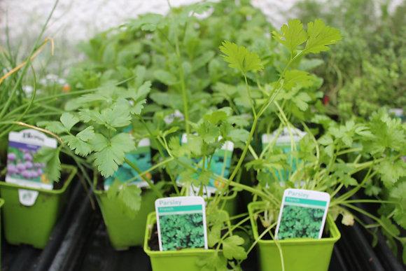 Parsley | 1 Plant
